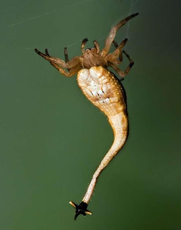 Чем опасен паук-скорпион