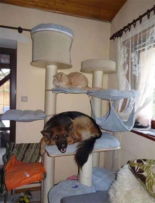 Собаки, которые думают, что они — кошки