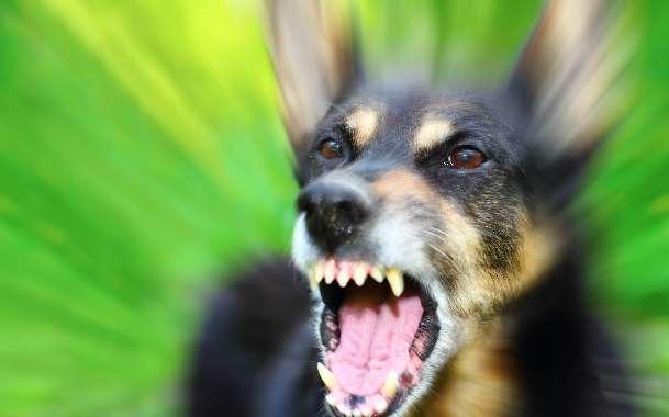 Четвероногая охотница на детей. В Первомайском отловили собак, приводящих в ужас жителей поселка