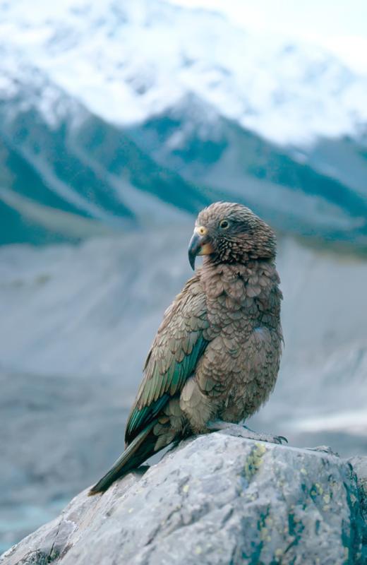 Попугай - убийца овец