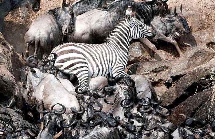 Миграции антилоп и зебр в Кении