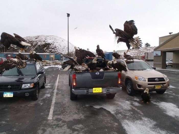 Вот как выглядит жизнь в одном из городков Аляски, который просто кишит белоголовыми орланами