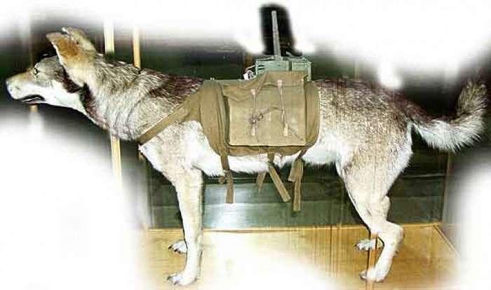 Собаки на войне. Забытые страницы истории