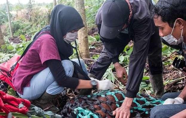 Зоозащитники спасли орангутана, поссорившегося с индонезийскими фермерами