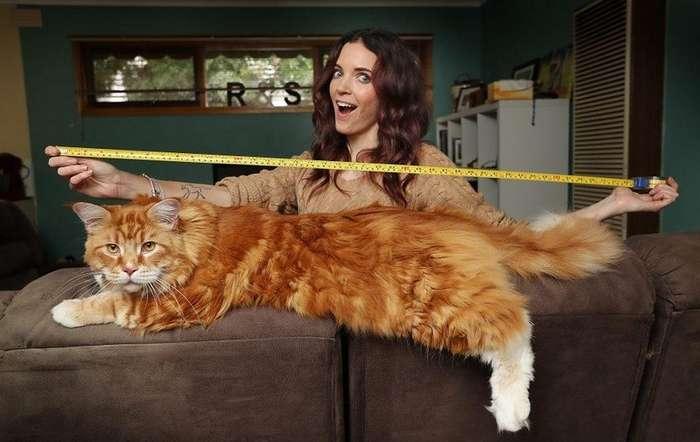 Самый длинный кот