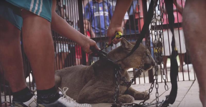 20 лет на цепи: душераздирающая история спасения цирковой пумы