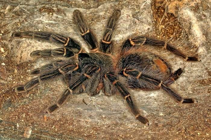 14 фактов о самом большом пауке в мире