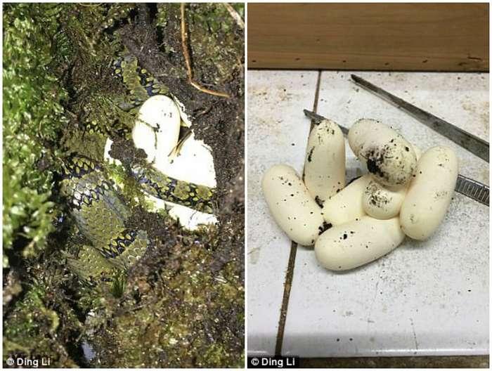 Китайские ученые выведут -самую красивую змею в мире-
