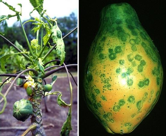 Как генная инженерия папайю спасла