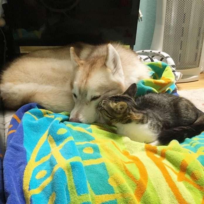 Котенок, которого вырастила хаски, считает себя собакой. Вы только посмотрите на эту малышку!