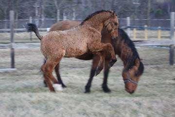 Кудрявые лошади. Самые красивые существа, о которых мало кто знает!