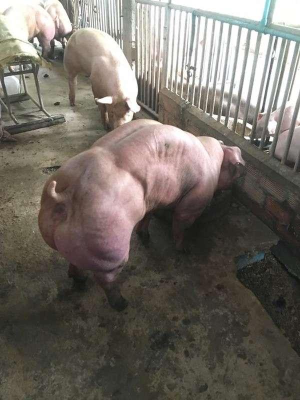 Камбоджийские мускулистые свиньи