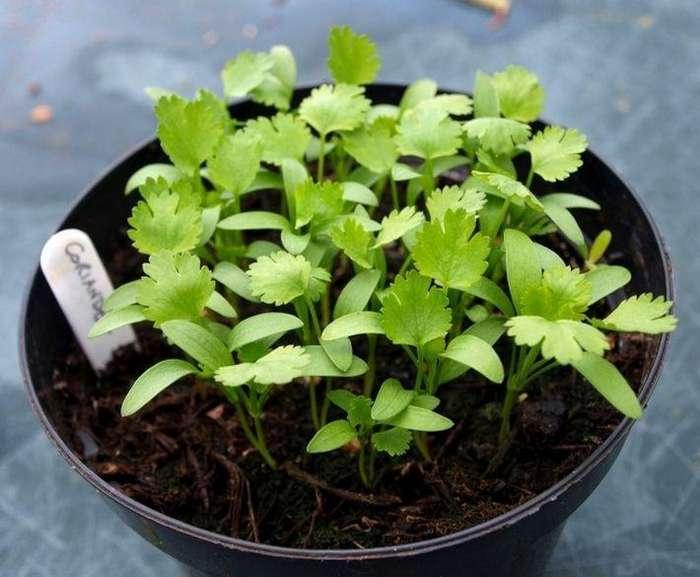 8 полезных растений, которые можно вырастить на подоконнике