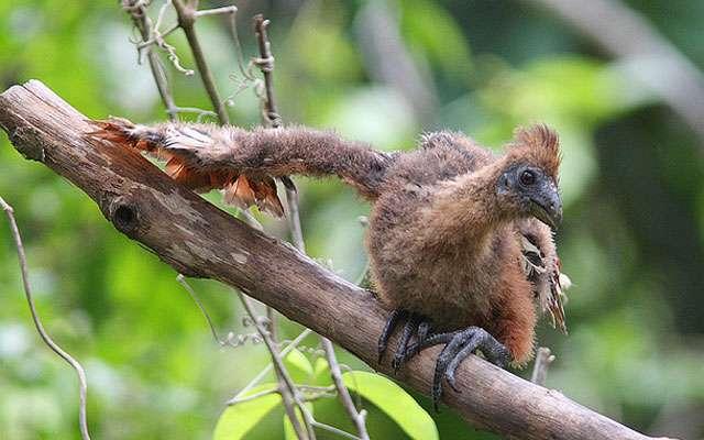 Странная птица гоацин. Прямой потомок доисторических ящеров...