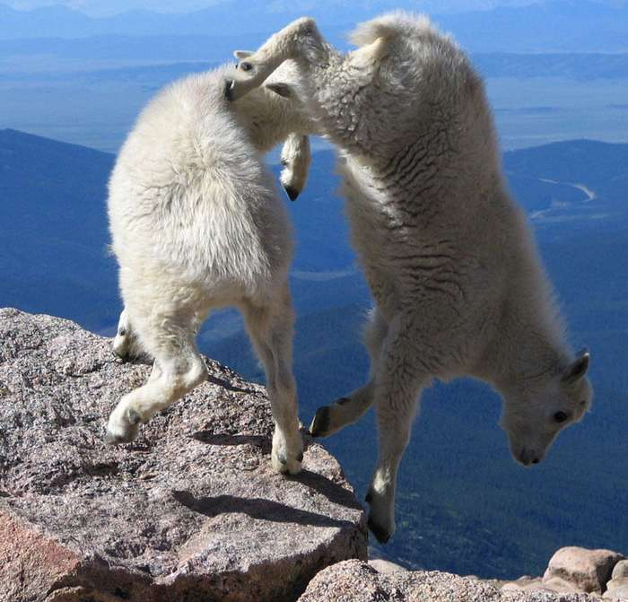 Козлы, которым неведома боязнь высоты