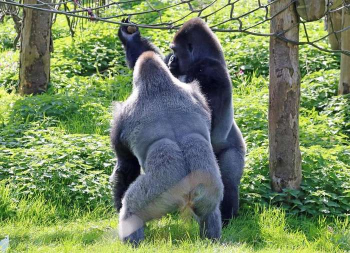 Гориллы-боксеры из британского зоопарка
