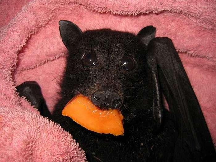 Спасенный на дороге детеныш летучей мыши обожает бананы!