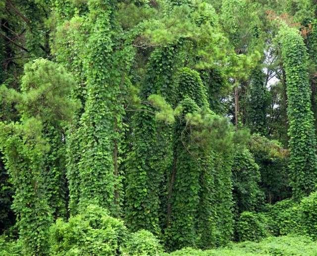 Как растение Пуэрария побеждает США
