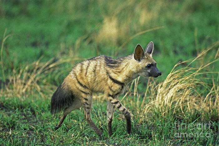 Самое милое животное, о котором вы вряд ли слышали — земляной волк.