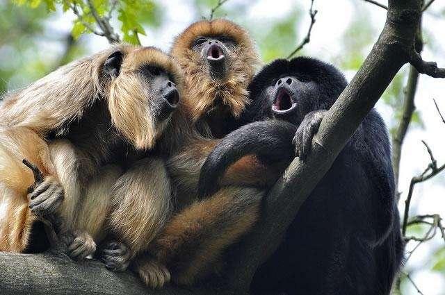 Самая громкая обезьяна