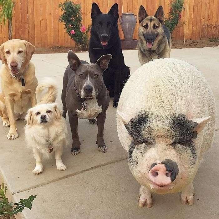 Похлебка — довольная свинка, выросшая среди 5 собак и считающая себя одной из них