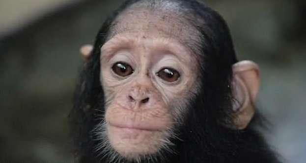 Спасенный от браконьеров маленький шимпанзе вновь научился дружбе