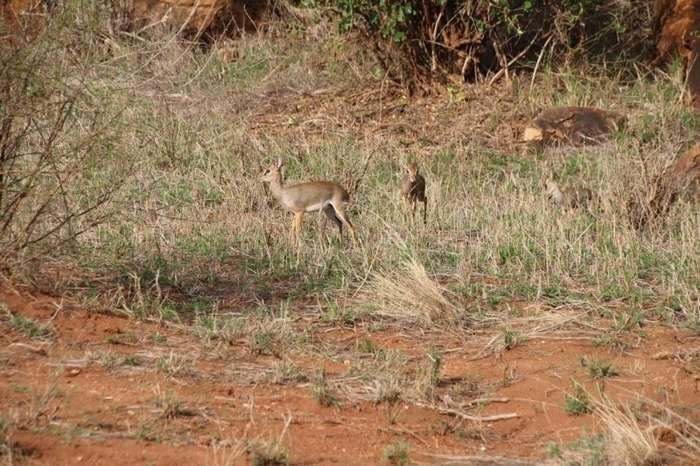 Кения: дикдик — самая маленькая антилопа на свете
