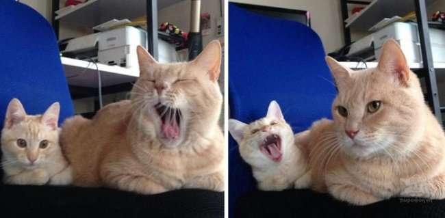 Забавные коты и их очаровательные мини-копии