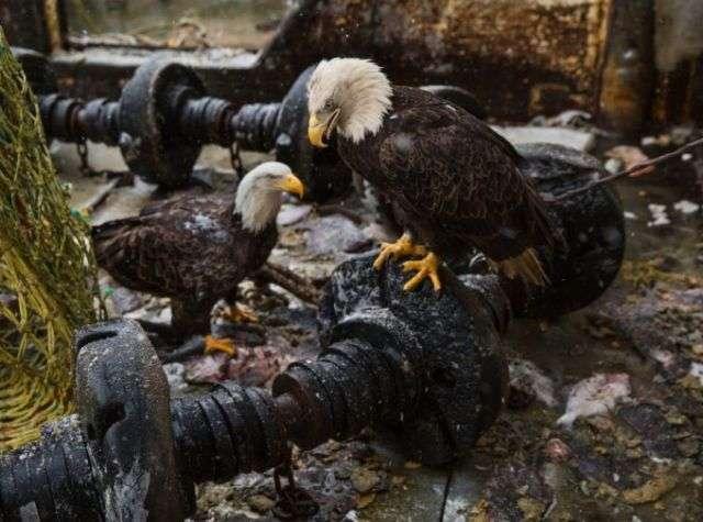 Назойливые орланы Аляски