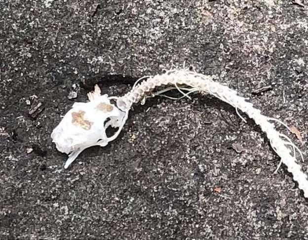 Гид наткнулся на жуткий скелет змеи, лишенный плоти. Как думаете, кто подчистую объел труп?