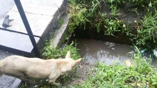 Её щенков затопило дождём, и она изо всех сил звала на помощь!