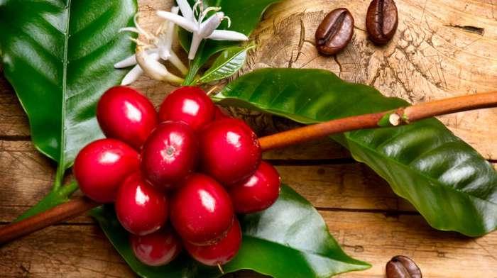 Как кофейные зёрна становятся вкусным напитком?