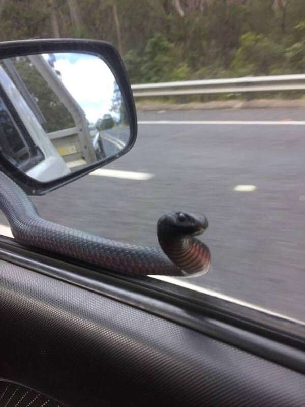 Необычный -пассажир- прокатился на боковом зеркале автомобиля в Австралии