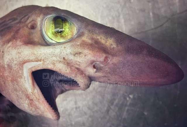Рыба-гоблин и акула-призрак. Новые фото жутких морских созданий от Романа Федорцова из Мурманска