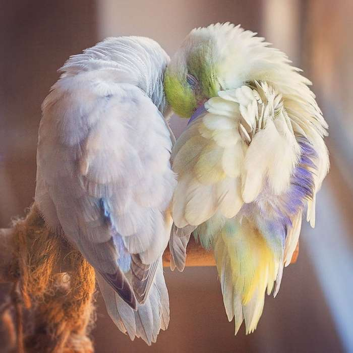История любви попугаев, и она растопит ваше сердце