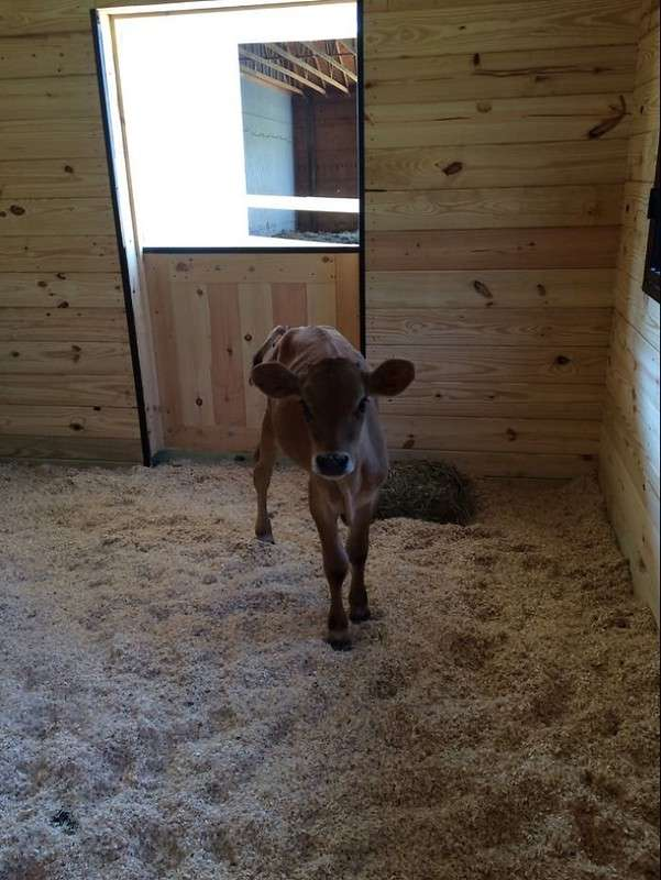 Малыш-телёнок Бобо обрёл дом благодаря объявлению на Facebook