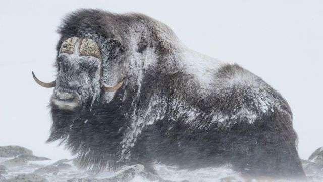 Мощные животные противостоят снежной буре