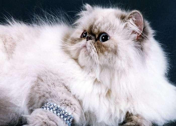 Самые популярные породы кошек в России по версии -Авито-