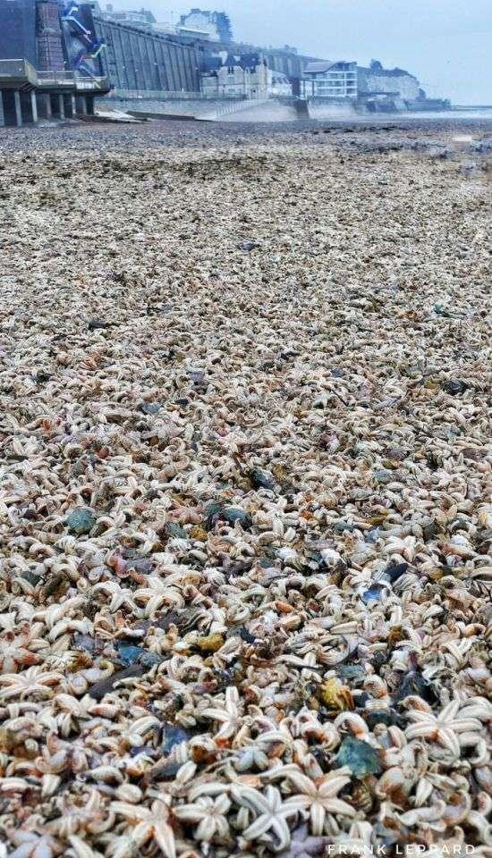 -Армагедон морских звезд- на пляжах Великобритании