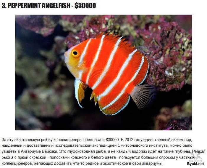 Самые дорогие рыбки