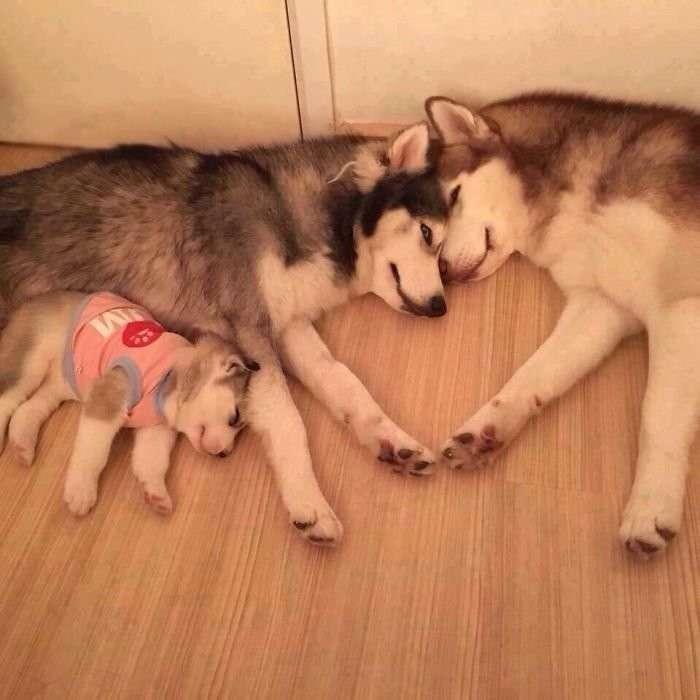 Хаски - удивительные собаки! 40 забавных хаски, которые покорят ваше сердце