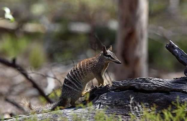 Австралийские ученые планируют клонировать вымершего сумчатого волка-4 фото-