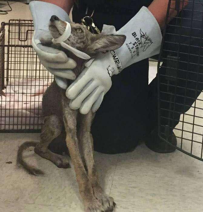 Люди спасли очень больную собаку, но позже поняли, что это вообще не собака-12 фото-