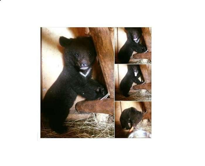Жители Приморья -отвоевали- раненого медвежонка-сироту у дачников-живодёров-2 фото-