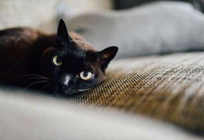 10 замурчательных фактов о черных кошках-12 фото-