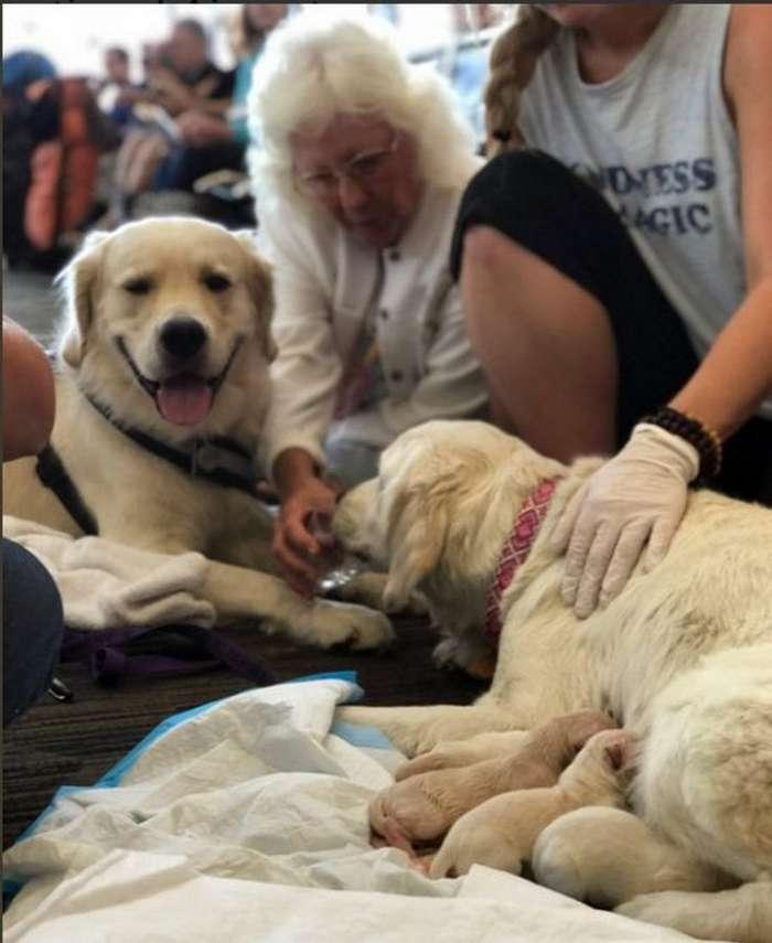 Работники аэропорта приняли роды у собаки-поводыря