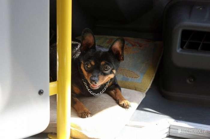 Водитель маршрутки из Омска каждый день берет с собой на работу собачку-8 фото-