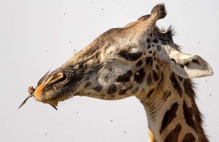 Жираф на приеме у крылатого стоматолога-7 фото-