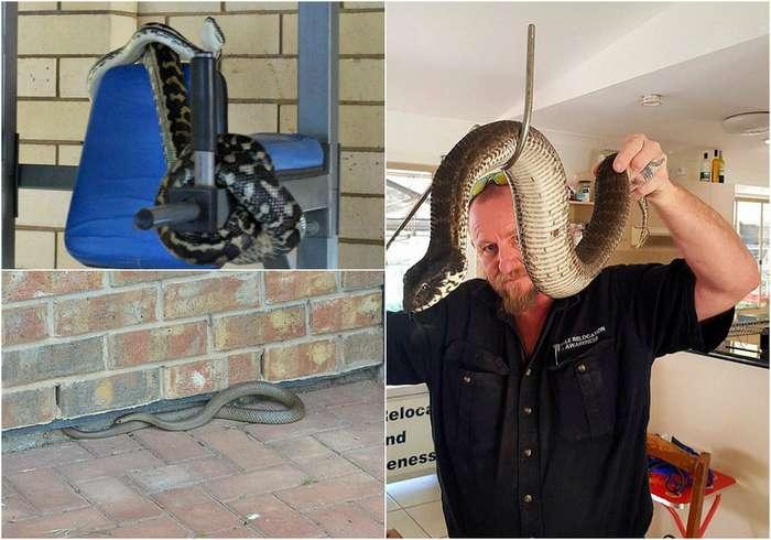 Ядовитые змеи проникают в жилые дома в Австралии