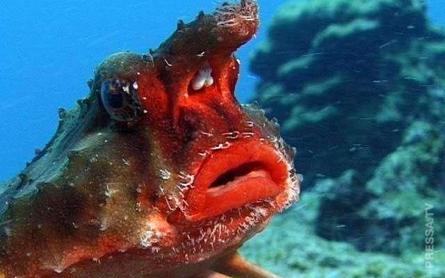 Нетопырь Дарвина - рыба, которая не умеет плавать